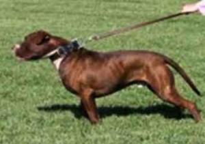 dog leash aggression training