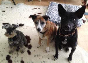 multiple dog household